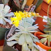 floraison-fleur-echeveria-jaune