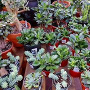 Plantes grasses (succulentes)