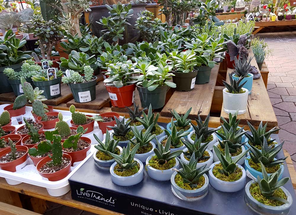 plantes grasses succulentes jardin dion. Black Bedroom Furniture Sets. Home Design Ideas