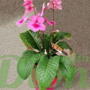 Streptocarpus rouge