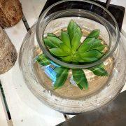 Terrarium contenant une Sedeveria 'Hummeli'