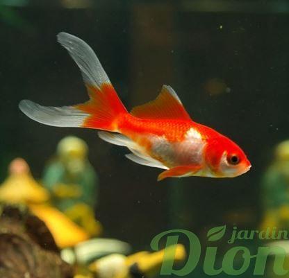Les poissons de bassins koi poissons rouges jardin dion for Poisson comete bassin