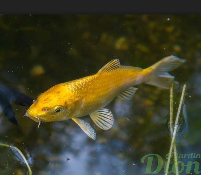 Les poissons de bassins koi poissons rouges jardin dion for Koi papillon