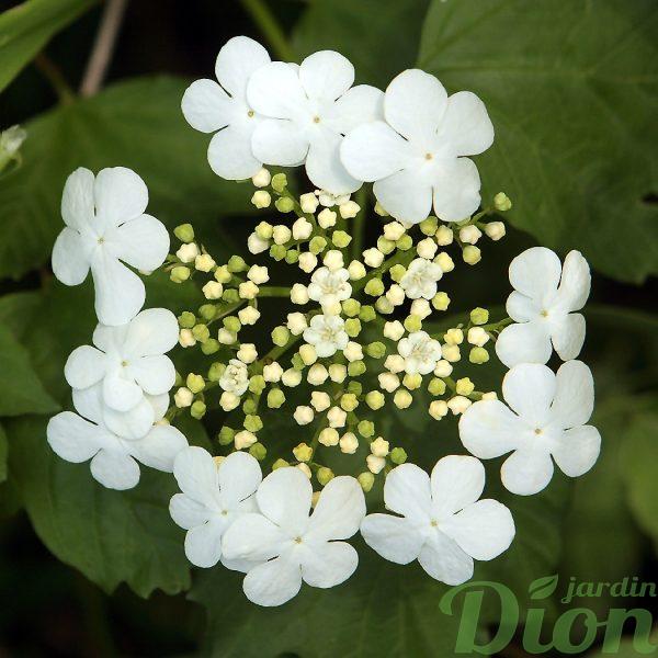 Viburnum opulus nanum