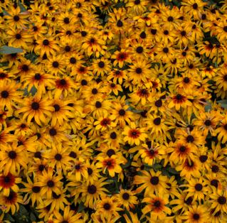 exceptionnelle-2019-annuelle-Rudbeckia hirta-Rising-Sun-Chestnut-Gold-rudbeckie-resistant-chaleur-sol-sec-rouge-jaune-fleurs