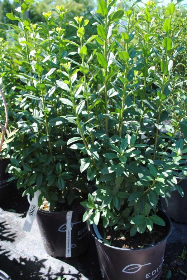Ligustrum vulgare 'Staight talk'