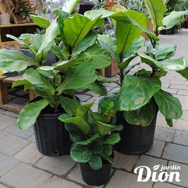 Ficus Lyrata figuier (9040D-5485D)