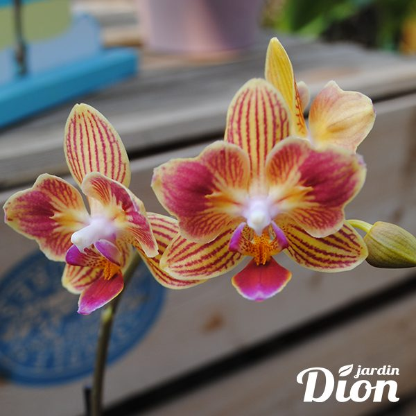 Orchidée + pot déco (5861)