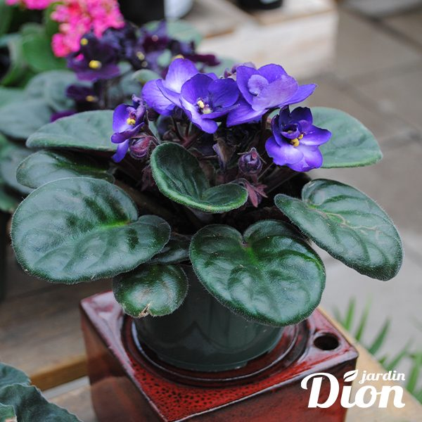 Violette africaine 4 pouces (9348D)