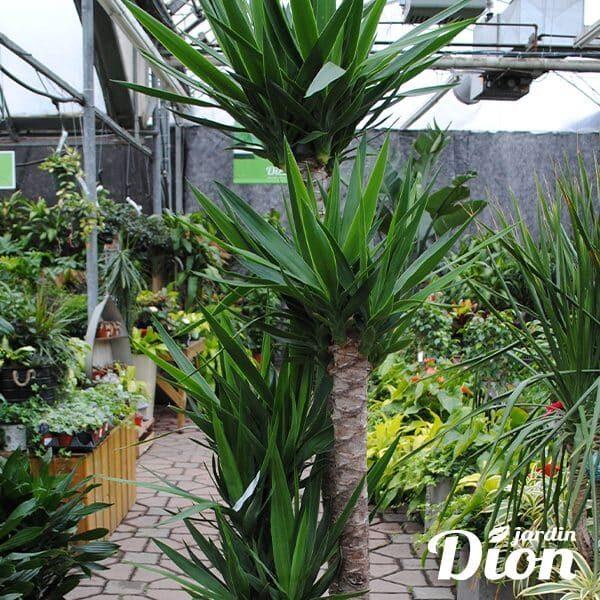 Yucca 14 pouces (8887D) photo 1