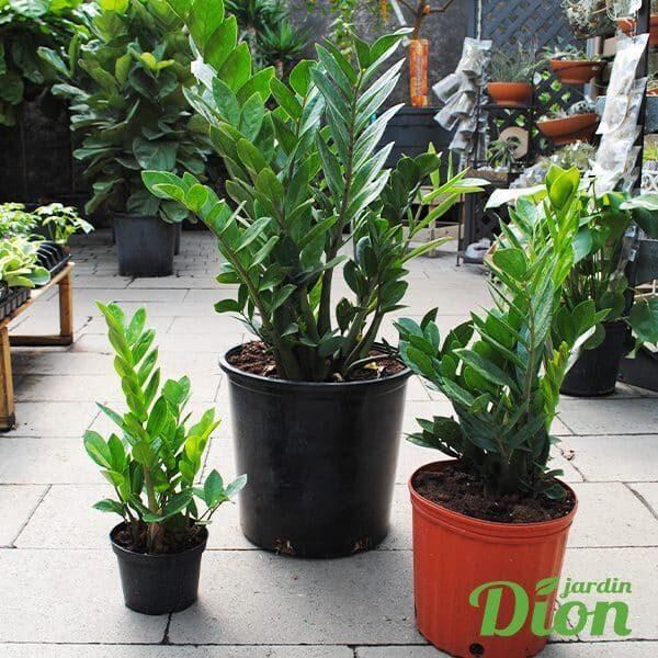 Zamioculcas zamiifolia (6-10-14po)